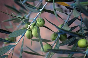 olives in a branch