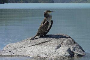 Cormorant sitting on a rock.