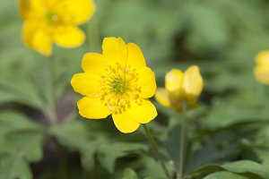 Anemone wild flowers