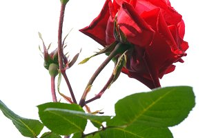 Red poinsettia isolated