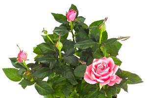 Rose plant isolated