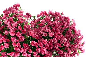 Chrysanthemums flowers heart