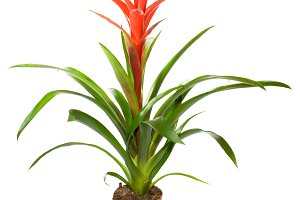 Bromeliad plant isolated