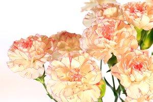 Yellow-pink carnation