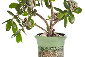 Jade plant with dollar bills