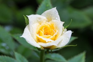 Yellow rose with drops of water