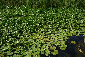 Water lilies on a lake