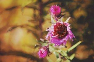 Purple aster autumn flowers
