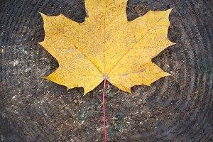 Yellow maple leaf on a tree stump