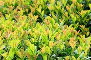 green spring bush