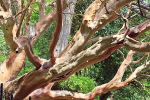 evergreen red tree