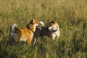 Japanese breed of dogs Sibu Inu for a walk