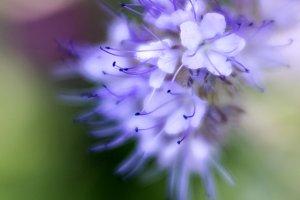 Bluebeard Flowers