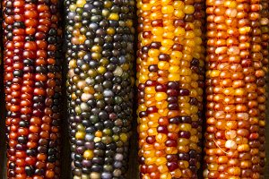Multicolored Indian Corn