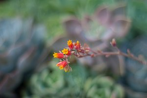 Red, Yellow, Flowering Succulent