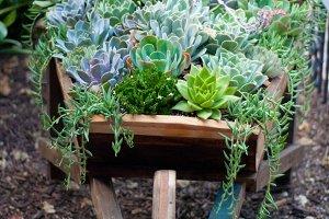 Succulents in a wheel barrow