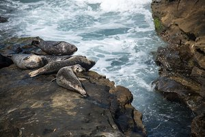Sea Lions 4