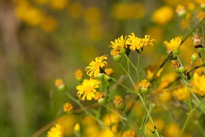 Yellow Desert Blooms 1