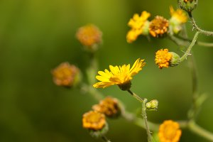 Yellow Desert Blooms 2