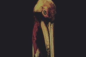 California Pelican on Black