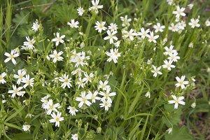 Spring flowers of Stellaria