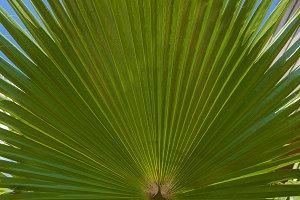 A costate palm leaf