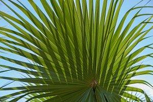 Leaf of a palm