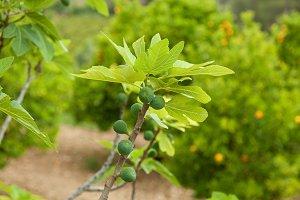 Figs branch