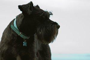 schnauzer dog with coast background