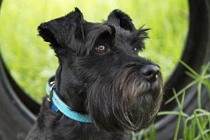 schnauzer dog in the field