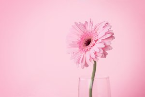Sweety pink Gerbera flower