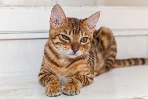 Bengal cat.