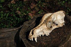 Canine skull. Halloween