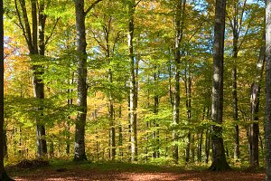 autumn beech forest