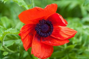 Blooming red poppy.
