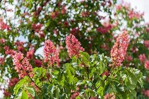 Flowers pink chestnut