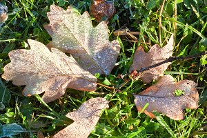 Hoarfrost on autumn oak leafs