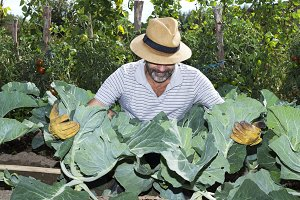man picking cabbages