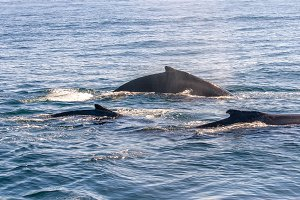 Three humpback whales