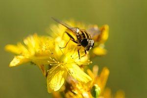 Hornet on a yellow flower