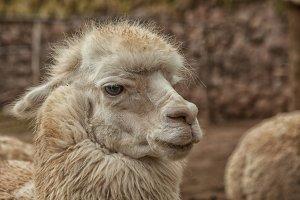 Off white Llama
