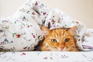 Cute ginger cat under blanket.