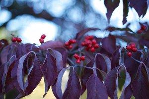 berries on autumn leaves