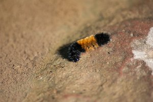 Caterpillar on Rock