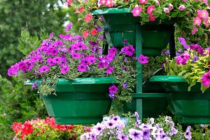 Petunia flowers in pots