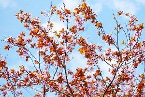 Cherry plum tree blossom