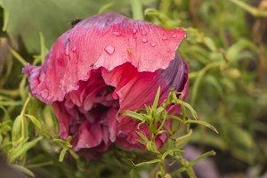 Розовый мак под дождем