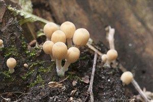 Coprinus mushrooms on a stump