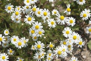 ox-eye daisy flowers