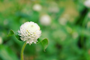 White gomphrena globosa